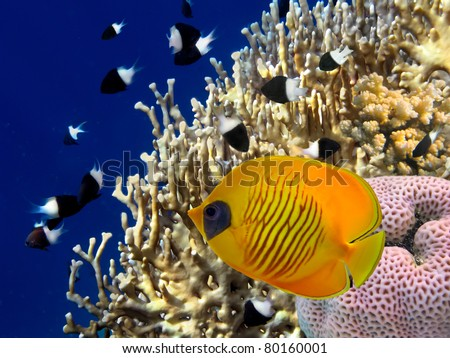 Shoal of Chromis dimidiata  and Masked butterfly fish (Chaetodon semilarvatus).