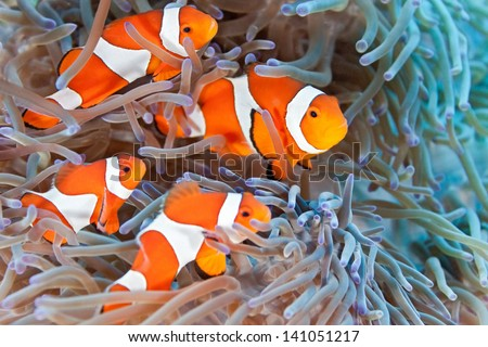 Shoal of clownfish