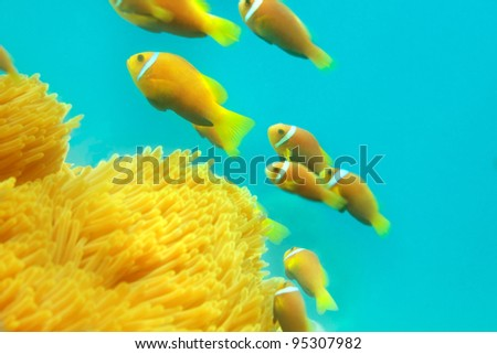 Shoal of clownfishes swimming between anemones - stock photo