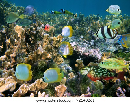Shoal of colorful tropical fish on a coral reef of the Caribbean sea, Belize