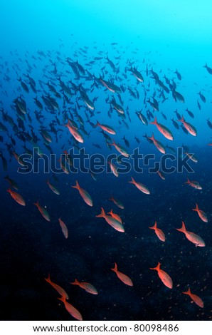 Shoal of Creole Wrasse