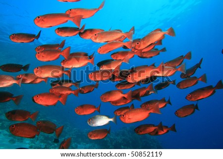 Shoal of Crescent-tail Bigeyes (Priacanthus hamrur)