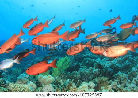 Shoal of Fish on Coral Reef: Crescent-tailed Bigeyes