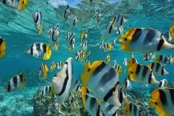 Shoal of fish Pacific double-saddle butterflyfish, Chaetodon ulietensis, underwater in the Pacific ocean, French Polynesia, Oceania