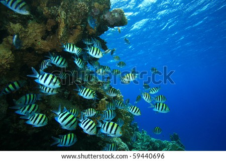 Shoal of Fish: Scissortail Sergeants on coral reef