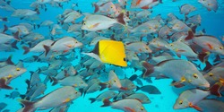 Shoal of fish underwater, many humpback red snappers with a longnose butterflyfish, Pacific ocean, French Polynesia, Oceania