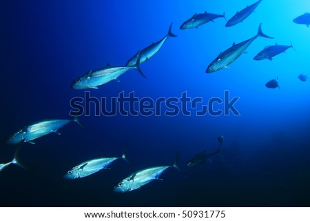 Shoal of Mackerel Tuna