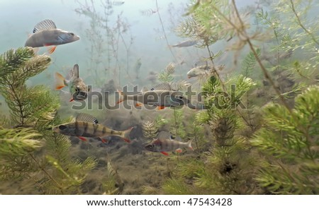 Shoal of perch in the lake