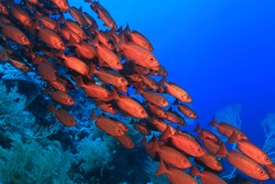 Shoal of red bigeye perches in the tropical reef of the red sea