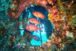 Shoal of red Blotcheye soldier fish hidden in the shipwreck - Myripristis murdjan