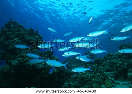 Shoal of Red Sea Fusiliers on coral reef
