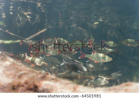 Shoal of roach and white bream in the lake