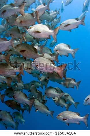 Shoal of Snapper in deep water off a coral reef in the Red Sea