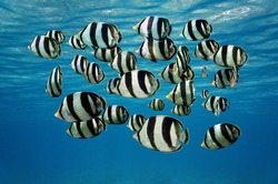 Shoal of tropical fish, Banded butterflyfish, with water surface in background, Caribbean sea