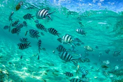 Shoal of tropical fish, Banded butterflyfish, with water surface in background, Indian ocean, Mauritius