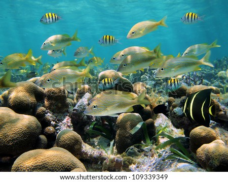 Shoal of tropical fish in a shallow coral reef of the Caribbean sea, Bocas del Toro, Panama