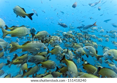 Shoal of Yellowtail Grunt