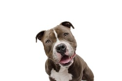 shocked and surprised dog face expression. American bully isolated on white background