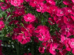 Shocking pink Dianthus Chinensis or Single Dianthus, small shrub with beautiful and lovely flowers. Unique shape petal, with a frilled or zigzag edge, make the flowers look like beautiful butterfly.