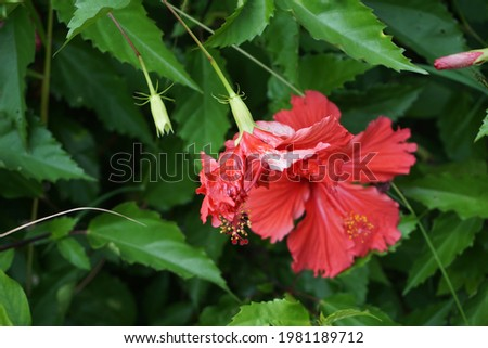 Shoe black plant with a natural background. Also called Hibiscus rosa Sinensis, Chinese hibiscus, China rose, Hawaiian hibiscus, rose mallow and shoeblack plant
