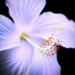 Shoe flower desi or Hibiscus flower desi buds