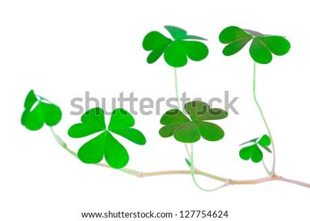shoot shamrock wood sorrel, clover called, the heart-shaped leaves, St Patrick's Day symbol