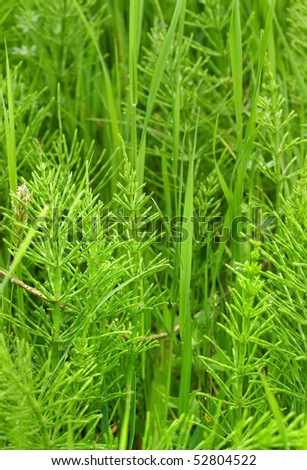 Shoots field horsetail - Equisetum in spring.  Green grass background.
