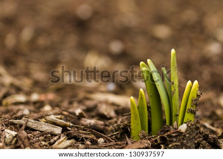 Shoots of daffodils breaking Spring ground.
