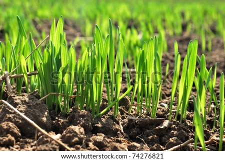 Shoots of wheat in early spring.