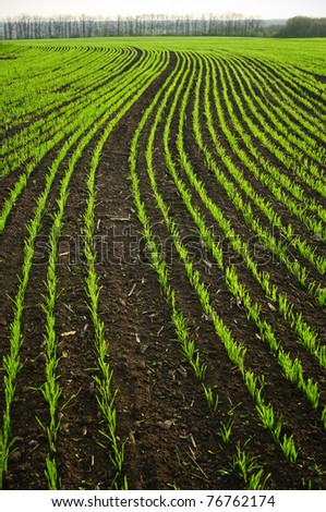 shoots of wheat in the fields
