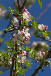 Shoots or buds and open flowers pink apple tree in early spring