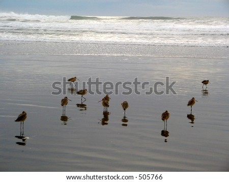shore birds at Ocean beach, san francisco