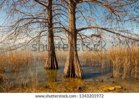 Shore of Lake Garda with bald cypress swamp trees (Taxodium distichum) in a reed of Phragmites australis, Lazise, Veneto, Italy