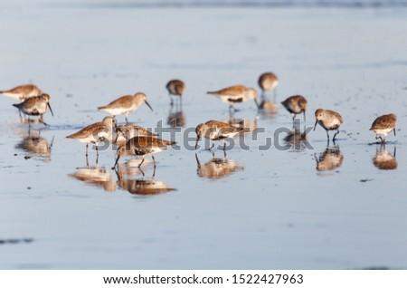 shorebird dunlin, Delta, British Columbia, Canada.  #1522427963