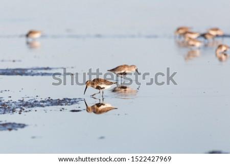 shorebird dunlin, Delta, British Columbia, Canada.  #1522427969