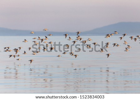 shorebird dunlin, Delta, British Columbia, Canada.  #1523834003