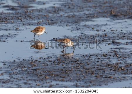 shorebird dunlin, Delta, British Columbia, Canada.  #1532284043