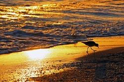 shorebird Sanibel Island Florida beach at sunset