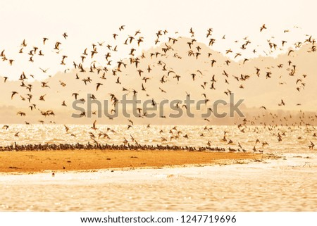 Shorebirds migration at sunset, flocks of waders or shorebirds flying over sandy in the sea, beautiful glittering seawater. Warm tone. Winter season. Libong Island, Trang Province, South Thailand. - Shutterstock ID 1247719696