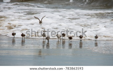 shorebirds running in the surf - Shutterstock ID 783863593
