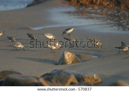 Shorebirds searching the beach for food