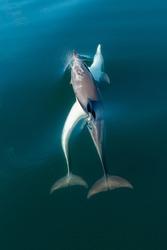 short-beaked common dolphin (Delphinus delphis) Malaga, Spain