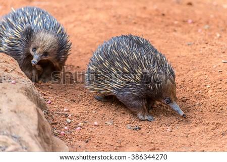 Short-beaked Echidnas in Australia