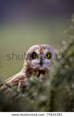 Short eared owl amongst the gorse