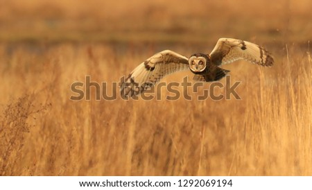 Short Eared Owl/Asio flammeus #1292069194