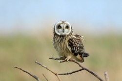 short-eared owl (Asio flammeus) Cuxhaven Germany
