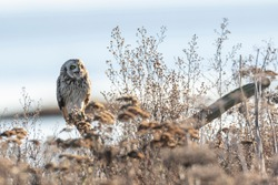 Short eared owl at Delta BC Canada