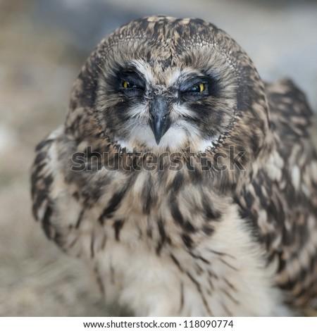 Short-eared owl, close-up