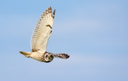 Short-eared owl dives in flight with stretched wing