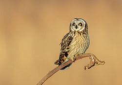 Short eared owl foraging in the woods
